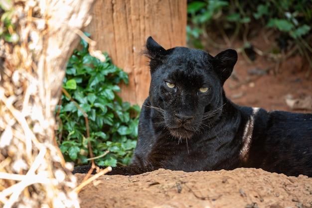 Schau dir die schwarzen pantheraugen an Premium Fotos