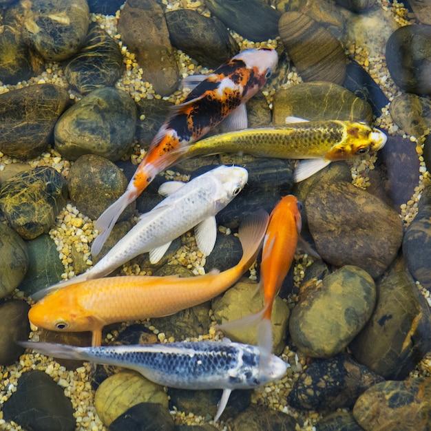 Schicke karpfenfische Premium Fotos