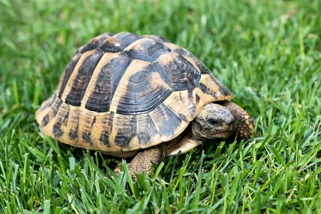 Schildkröte auf dem rasen Premium Fotos