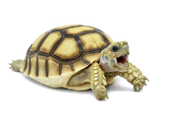 Schildkröte getrennt auf einem weißen hintergrund Premium Fotos