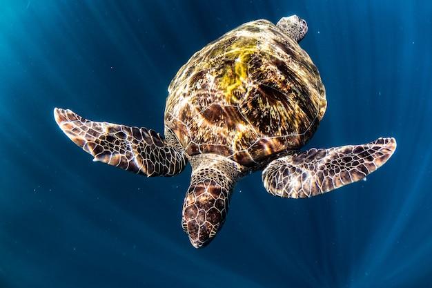 Schildkröte schwimmen im blauen meer Premium Fotos