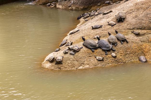 Schildkröten liegen auf einem stein am wasser Premium Fotos