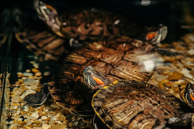 Schildkröten schwimmen im aquarium Premium Fotos