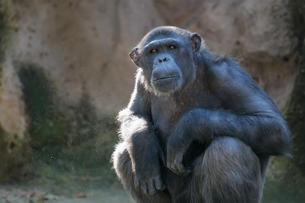 Schimpanse schaut mit aufmerksamkeit Premium Fotos