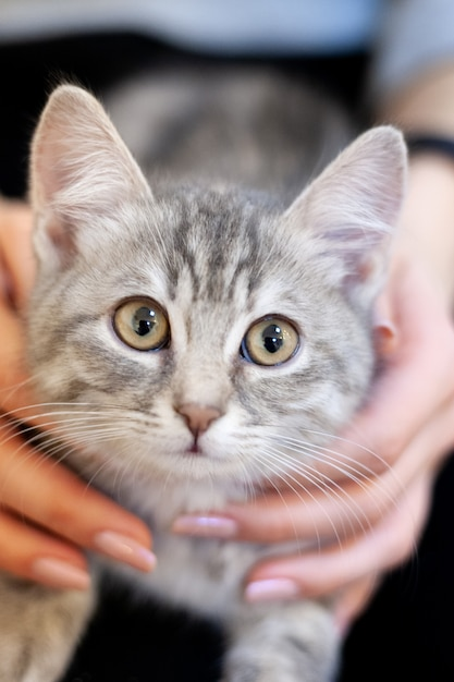 Schläfriges kätzchen in den knien eines mädchens. hauptkätzchen mit einem niedlichen attraktiven gesicht. Premium Fotos