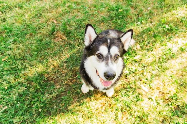 Schlampiger schwarzweiss-hund, der auf grünem gras im park sitzt. großer heiserer hund Premium Fotos