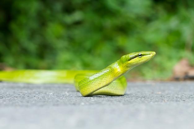 Schlange, gonyosoma oxycephalum (colubridae) Premium Fotos
