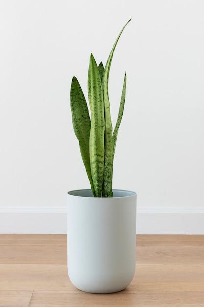Schlangenpflanze in einem weißen topf Kostenlose Fotos
