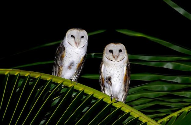 Schleiereule tyto alba schöne vögel von thailand Premium Fotos