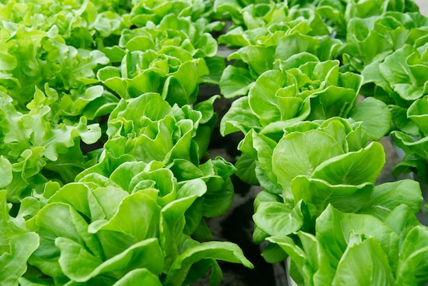 Schließen sie herauf ansicht des grünen eichenkopfsalates im wasserkulturbauernhof Premium Fotos