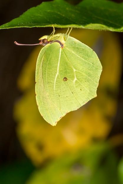 Schließen sie herauf ansicht des schönen gonepteryx-cleopatra-schmetterlingsinsekts. Premium Fotos