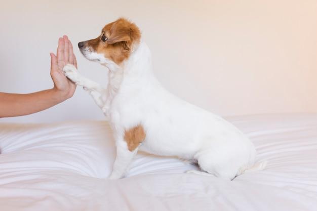 Schließen sie herauf ansicht eines frauenhandhochs fünf mit nettem kleinem hund über weißem hintergrund. hund sitzt auf dem bett. tagsüber, haustiere drinnen, lebensstil Premium Fotos