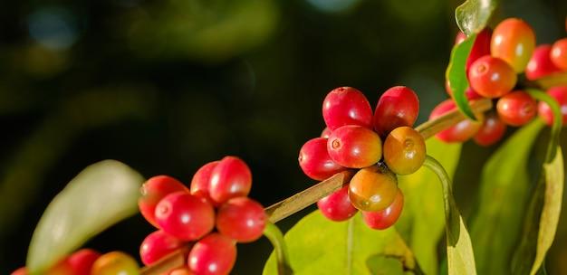 Schließen sie herauf bohnenkaffee in der natur Premium Fotos