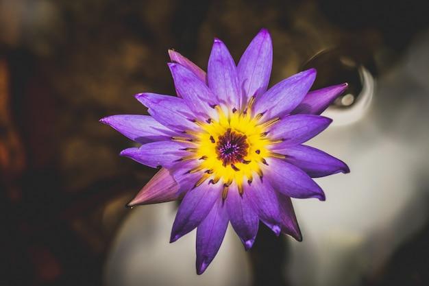 Schließen sie herauf den lotos, der über wasser blüht Premium Fotos