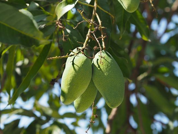 Schließen sie herauf die mangofrüchte, die am baum hängen Premium Fotos