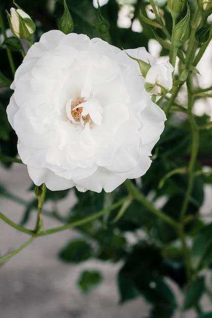 Schließen sie herauf gardenie im garten Kostenlose Fotos