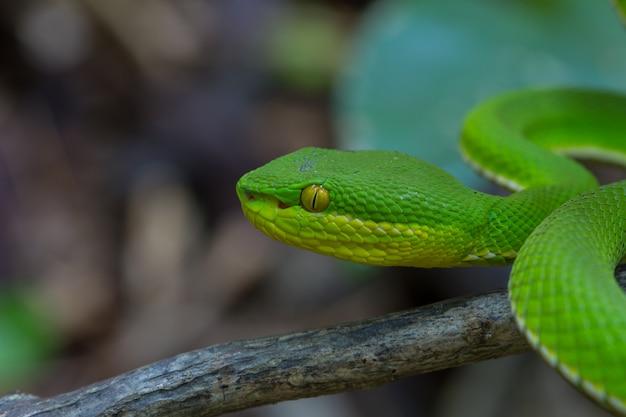 Schließen sie herauf gelb-lippen grüne pit viper-schlange Premium Fotos