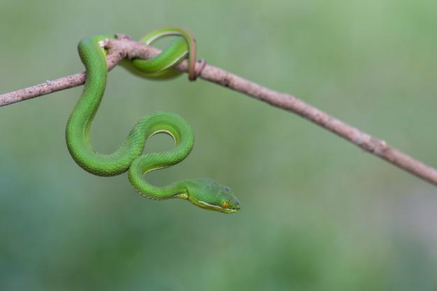 Schließen sie herauf gelbe lippige grüne pit viper-schlange Premium Fotos
