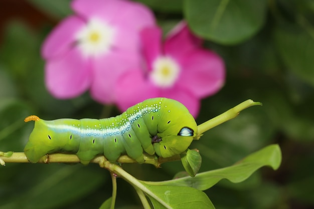 Schließen sie herauf grünen wurm oder daphnis neri wurm auf dem stockbaum in der natur und in der umwelt Premium Fotos