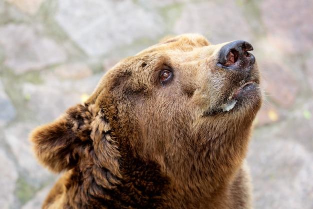 Schließen sie herauf porträt des erwachsenen braunbären ursus arctos. Premium Fotos