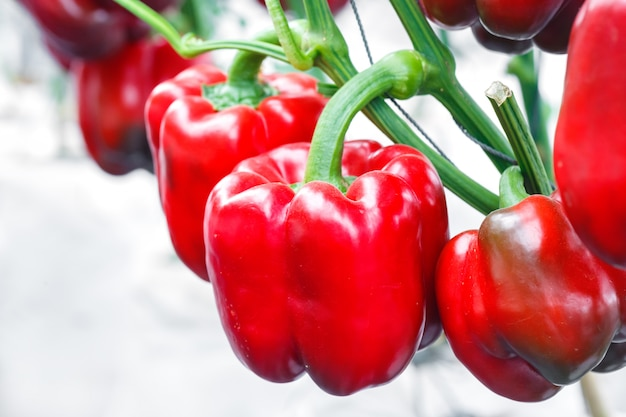 Schließen sie herauf reifen roten grünen pfeffer bei der gewächshauslandwirtschaft Premium Fotos