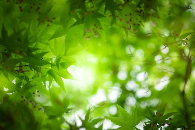 Schließen sie herauf schöne ansicht von kleinen ahorngrünblättern der natur auf unscharfem grünbaumhintergrund Premium Fotos