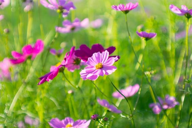 Schließen sie herauf schöne hinter rosa schwefel kosmos-blume Premium Fotos