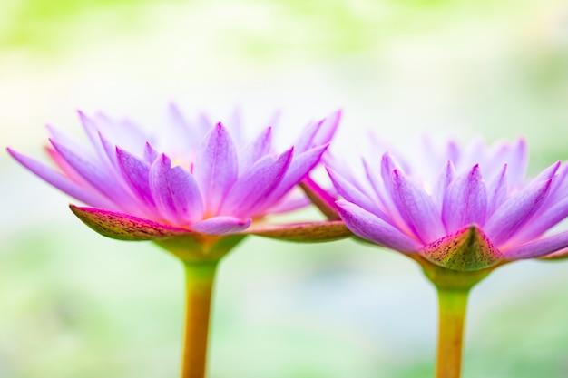 Schließen sie herauf schönen purpurroten lotos, eine seeroseblume im teich Premium Fotos