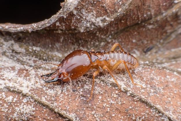 Schließen sie herauf termitenarbeitskraft auf getrocknetem blatt Premium Fotos