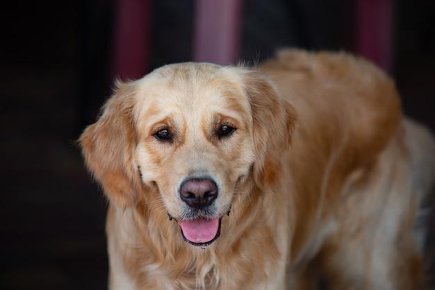 Schließen sie oben auf goldenem retriver labrador-hund Premium Fotos