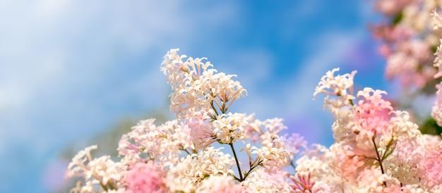 Schließen sie oben fliederbaum blumen auf blauem himmel hintergrund. regenbogenfarbflecken. banner mit kopierplatz. Premium Fotos
