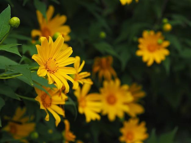 Schließen sie oben gelbe ringelblume oder maxican sunflower und grüne blätter. blumiger hintergrund. Premium Fotos