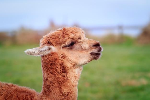 Schließen sie oben kopf des neuseeländischen alpakas Premium Fotos