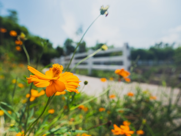 Schließen sie oben vom gelben mexikanischen asterkosmos bipinnatus cav im garten Premium Fotos
