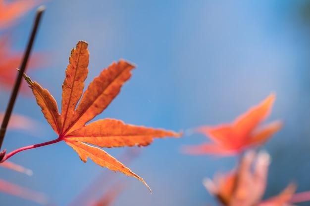 Schließen sie oben vom rotahornblatt mit blauem himmel in der herbstsaison. Premium Fotos