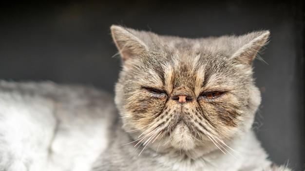 Schließen sie oben vom schmutzigen gesicht einer grauen gestreiften persischen katze Premium Fotos