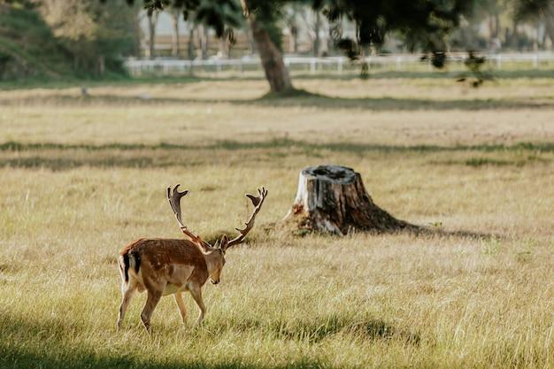 Schließen sie oben vom schönen jungen hirsch im naturpark von migliarino san rossore massaciuccoli, italien Premium Fotos