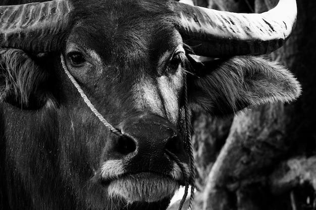 Schließen sie oben vom wasserbüffelporträt im schwarzweiss-hintergrund. Premium Fotos