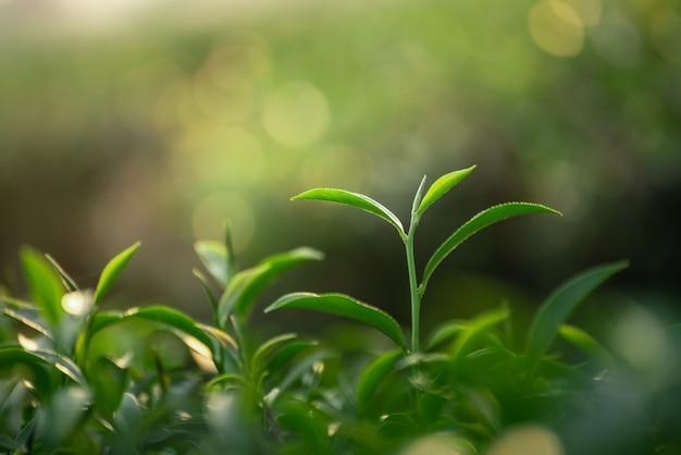 Schließen sie oben von den frischen grünen teeblättern auf bokeh hintergrund Premium Fotos