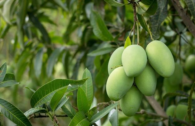 Schließen sie oben von der mangofrucht auf dem mangobaum Premium Fotos