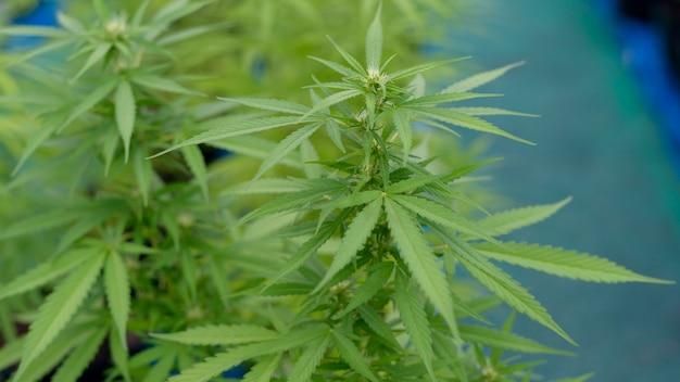 Schließen sie oben von hanfblättern (cannabis sativa) in einem topf drinnen, hintergrundkonzept Premium Fotos