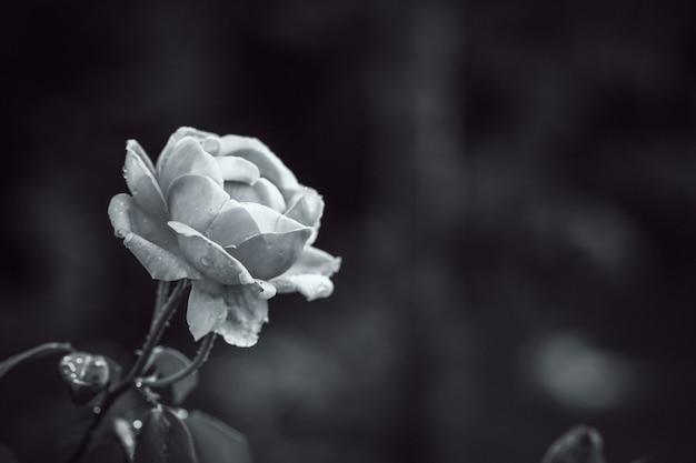 Schließen sie oben zu nahtlosem süßem blumenblatt der rosafarbenen blume mit schwarzweiss-filter Premium Fotos