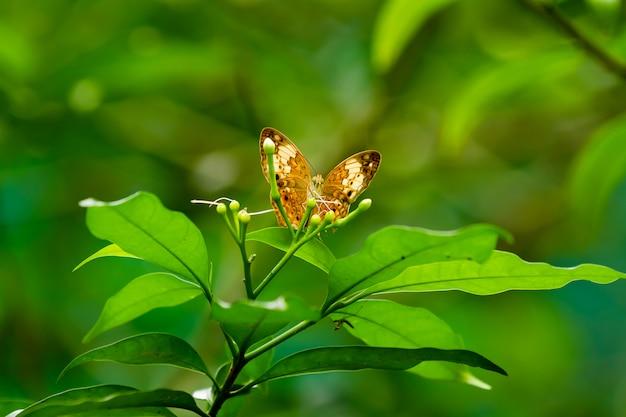 Schmetterling auf blatt, makroinsektenleben im tropischen regenwald. kuala lumpur, malaysia. Premium Fotos