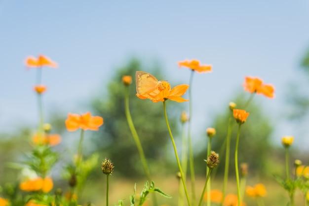 Schmetterling auf gelber blume der kosmosblüte Premium Fotos