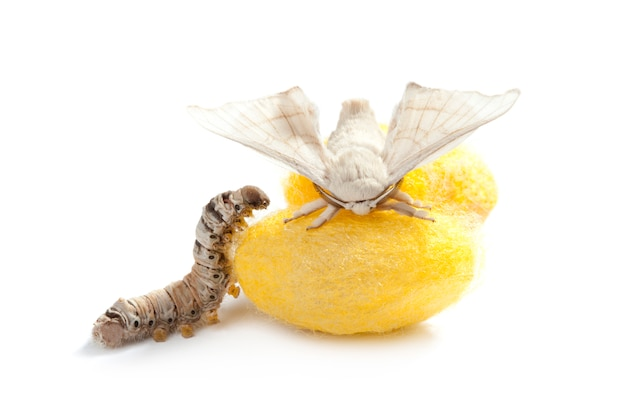 Schmetterling seidenraupenkokon seidenwurm drei stufen Premium Fotos