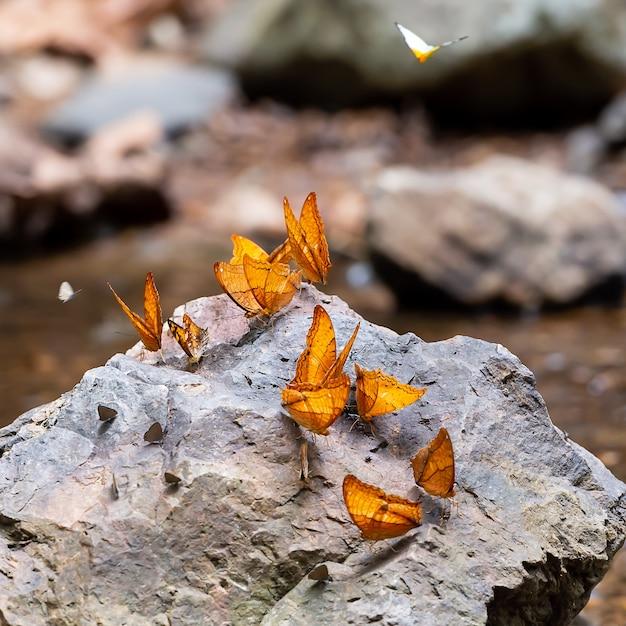 Schmetterlinge Futtern Mineral Entlang Des Baches Im Regenwald