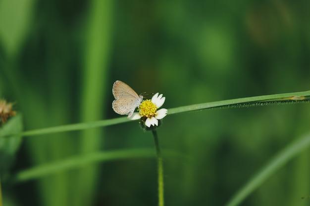 Schmetterlinge sind auf den mantelknöpfen in der natur. diese blume ist eine art trockenheit, die gut vertragen wird. Premium Fotos