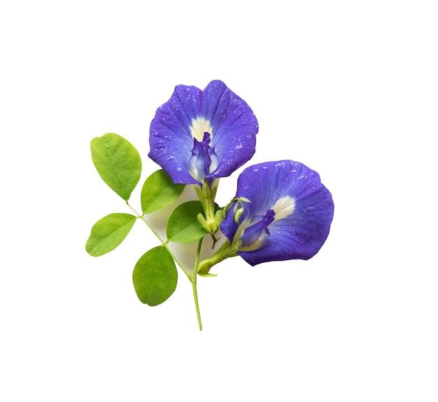 Schmetterlingserbsenblumen Premium Fotos