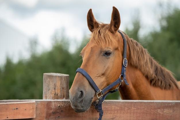 Schnauze des ruhigen reinrassigen braunen rennpferdes, das sie beim stehen hinter holzzaun in ländlicher umgebung betrachtet Premium Fotos