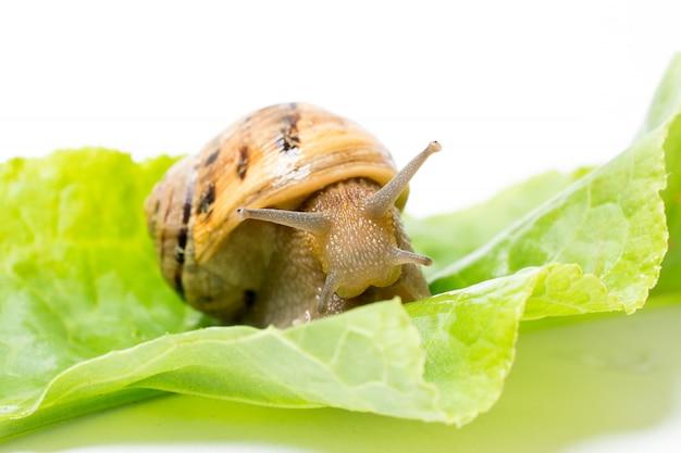 Schnecke auf dem blatt des grünen salats, getrennt im weiß Premium Fotos